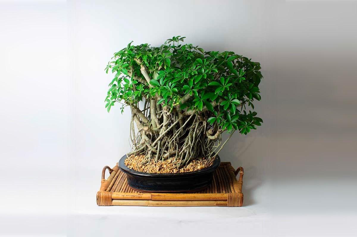 Une règle importante: votre bonsaï d'intérieur doit être tenu à l'écart de la chaleur directe et des courants d'air.