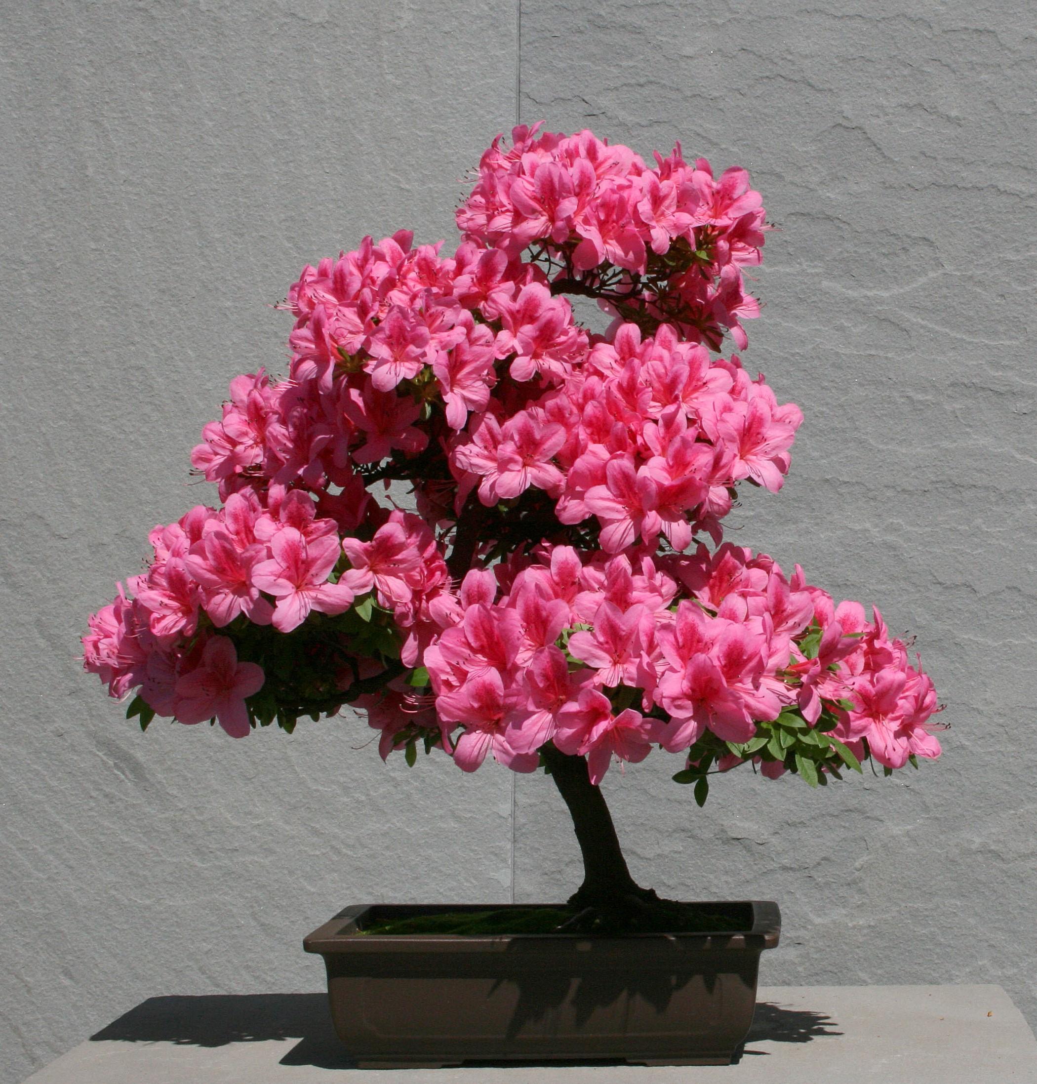 Les azalées occupent une place privilégiée dans le monde des connaisseurs de bonsaï.