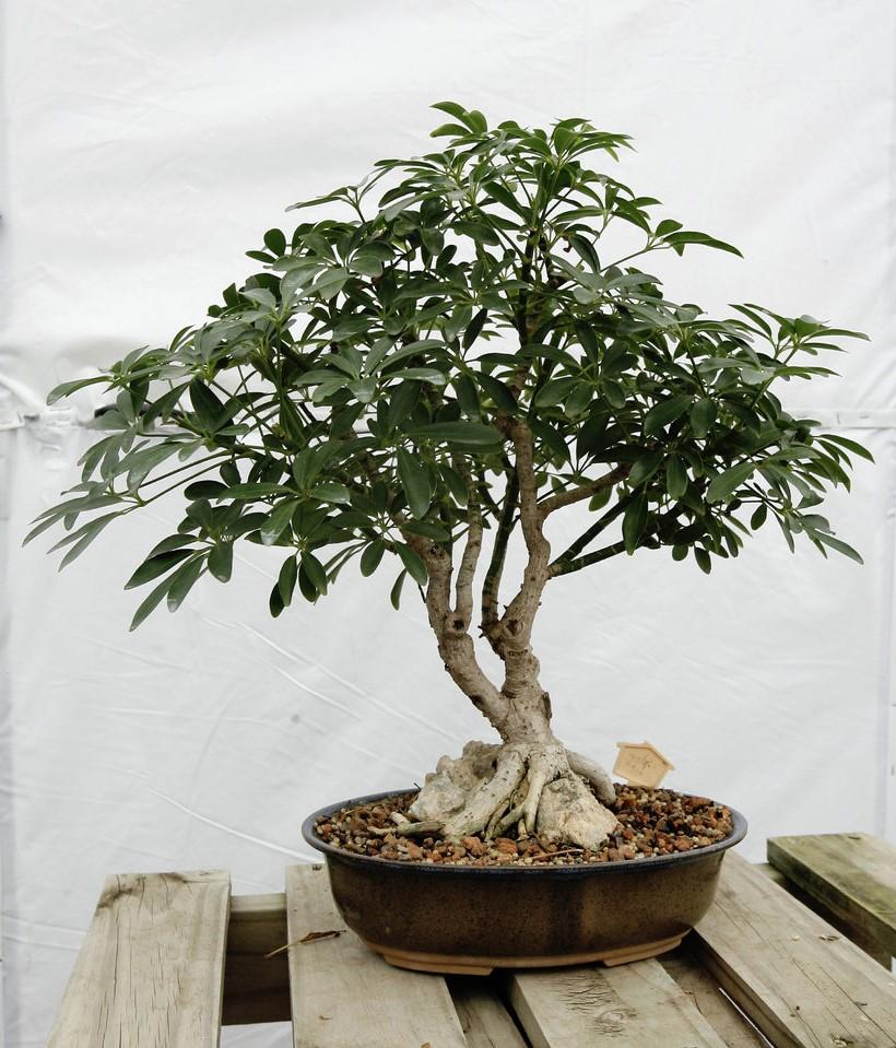 Lors de l'arrosage de votre bonsaï, l'objectif principal est de saturer complètement le système racinaire avec de l'eau.