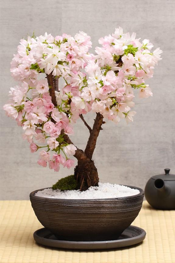 Conseil d'entretien - la clé pour choisir le bon sol pour votre bonsaï est de choisir celui qui offre un drainage adéquat.