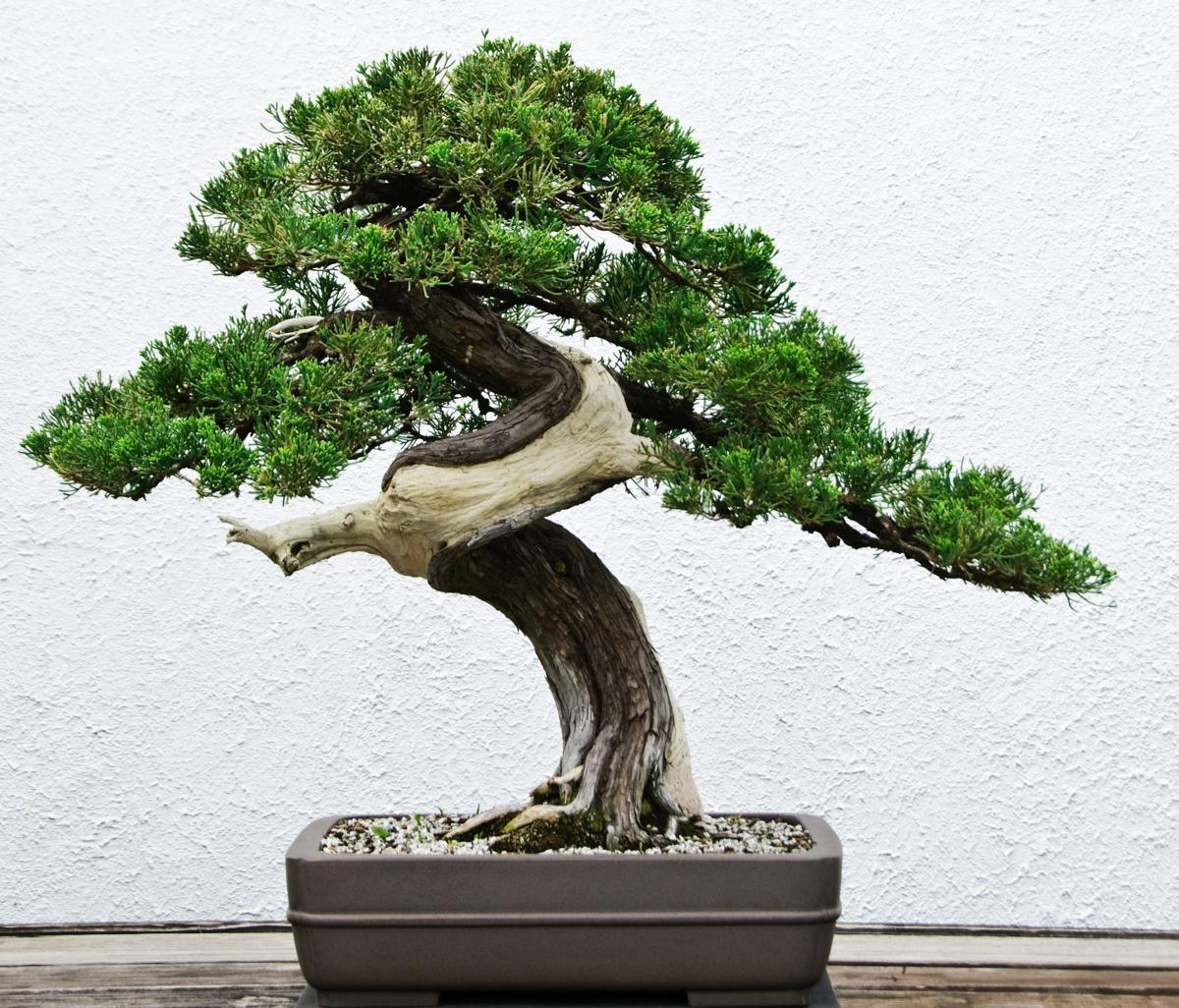 Un engrais de bonsaï équilibré contient des quantités égales d'azote, de phosphore et de potassium.