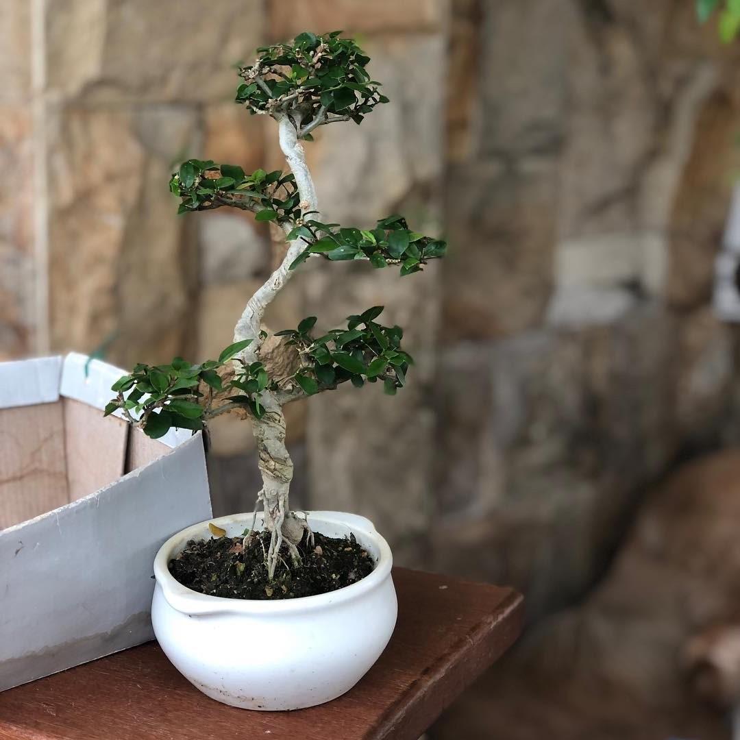 L'entretien de la taille est essentielle pour garder les bonsaïs d'intérieur petits et pour conserver leur forme compacte.