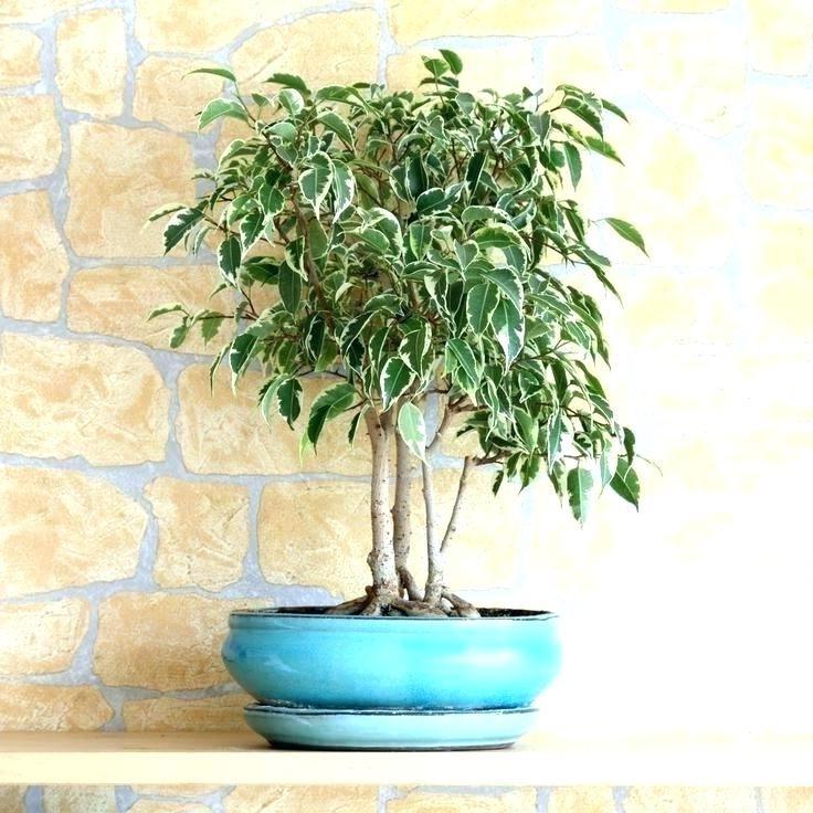 Le rempotage est un facteur clé dans l'entretien de votre bonsaï.