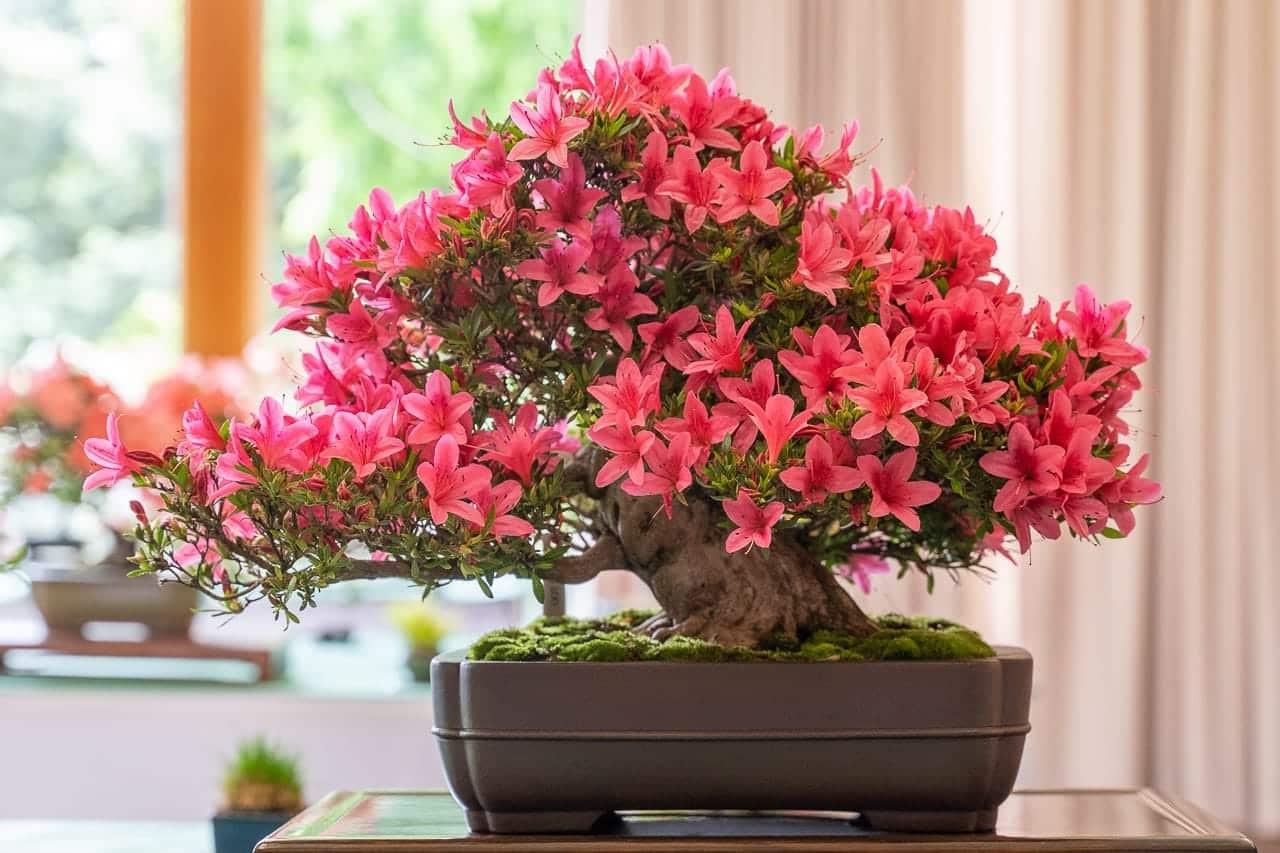 Les arbres d'azalée ajoutent de la couleur et de la floraison à l'art du bonsaï.