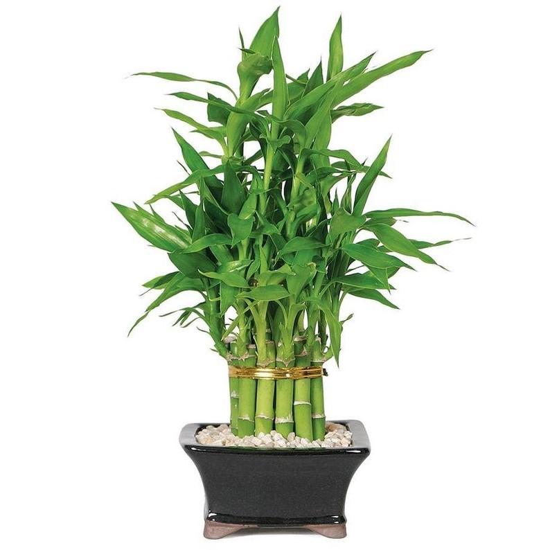 Nandina est une plante domestique qui est un type de bambou, également appelé bambou céleste ou bambou sacré.