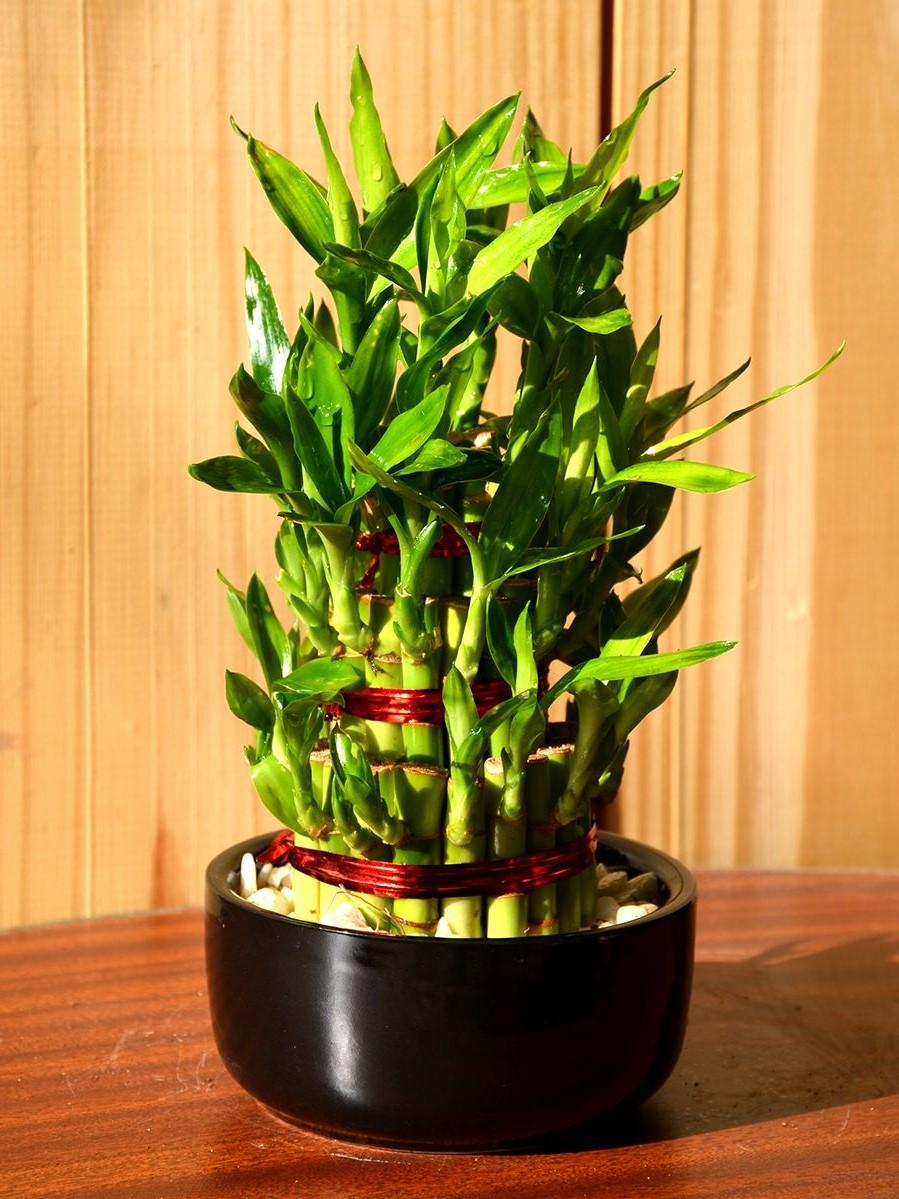 En réalité, ce type de bambou n'est en réalité pas un arbre, il se développe comme un petit arbuste.