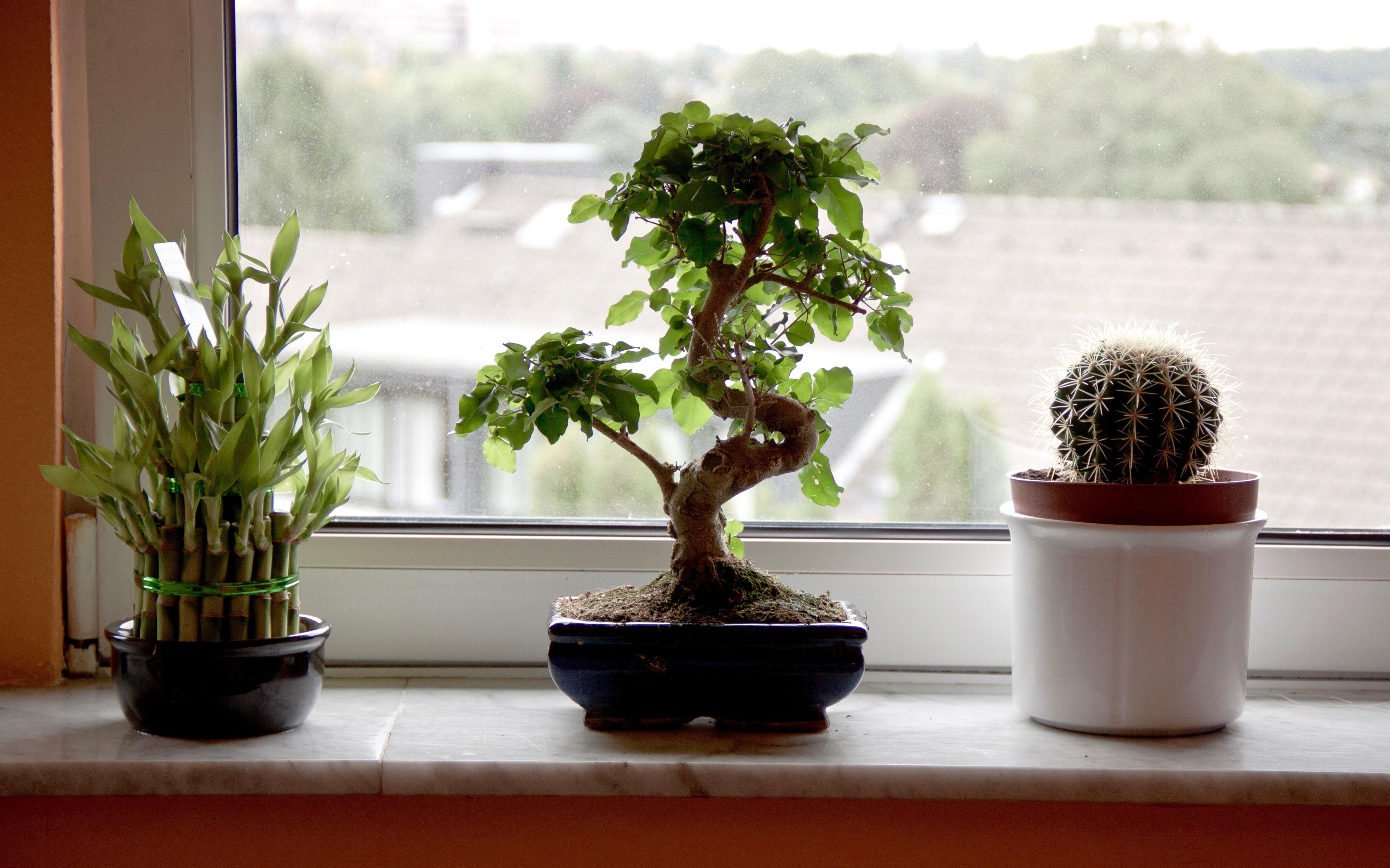 Cependant, une fois fusionné avec la pratique du bonsaï, le minuscule arbuste ressemble beaucoup à la forme d'un bambou miniature, ce qui est tout à fait harmonieux et enchanteur.