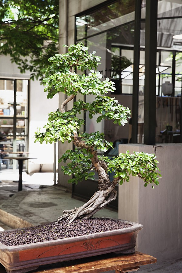 Le développement de la céramique chinoise et coréenne a joué un rôle important dans le développement du bonsaï tel que nous le connaissons aujourd'hui.