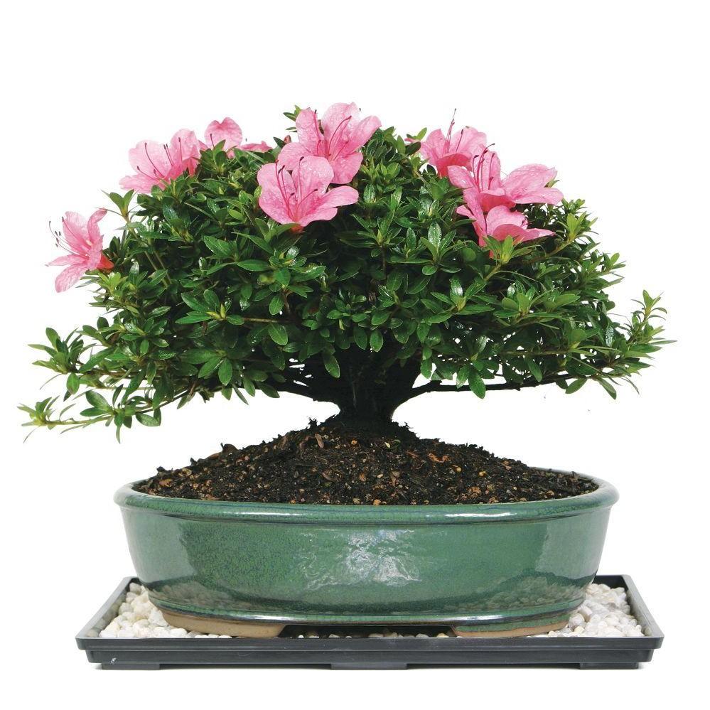 Le bonsaï chinois suit toujours l'ancienne tradition.