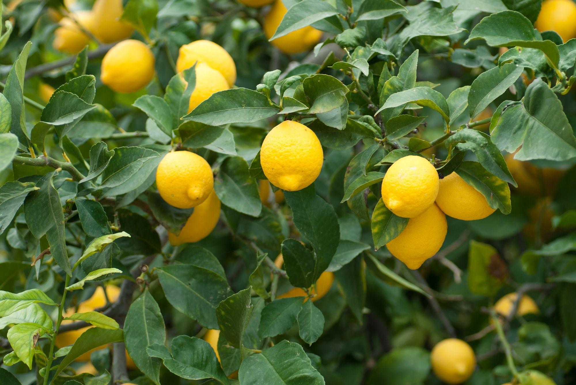 Si vous vivez dans une région exposée au soleil pendant au moins 8 heures par jour toute l'année et qui ne descend jamais au-dessous de 10 ° C environ, vous pouvez planter votre citronnier à l'extérieur dans le sol.