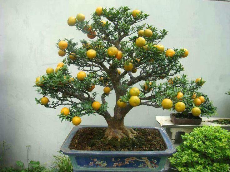 Voici une idée inhabituelle: achetez un citronnier bonsaï au lieu d'un citronnier ordinaire.