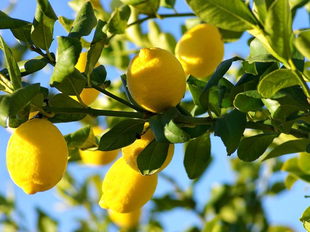 Le saviez-vous? Les citrons prospèrent dans les bosquets extérieurs, notamment en Inde, en Italie, en Californie et en Floride.