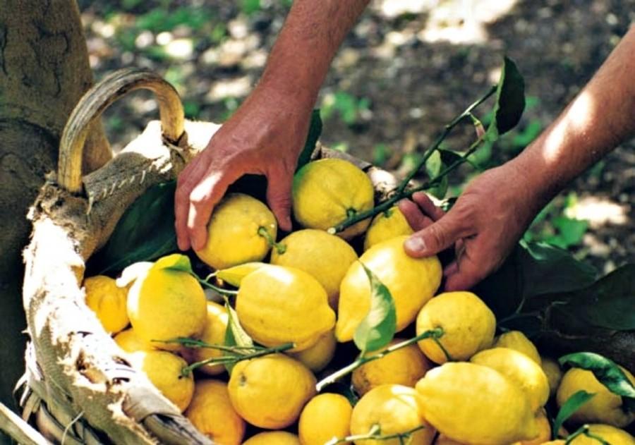 Découvrez comment prendre facilement soin de votre citronnier.