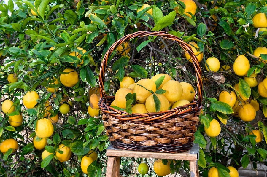 Les citronniers nains sont une excellente variété à cultiver si vous voulez amener votre arbre à l'intérieur.