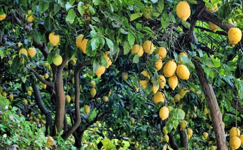 Pour les climats particulièrement secs, utilisez un humidificateur lorsque le citronnier est à l'intérieur pour maintenir le climat au bon niveau, environ 50% d'humidité.