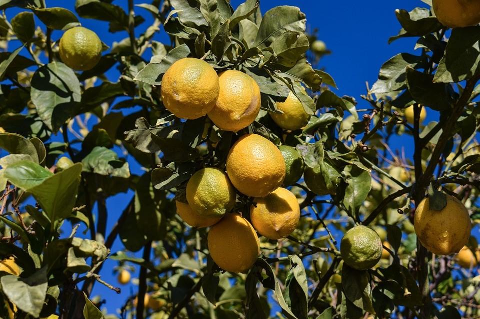 Placez votre citronnier dans un endroit où il obtiendra la lumière directe du soleil.