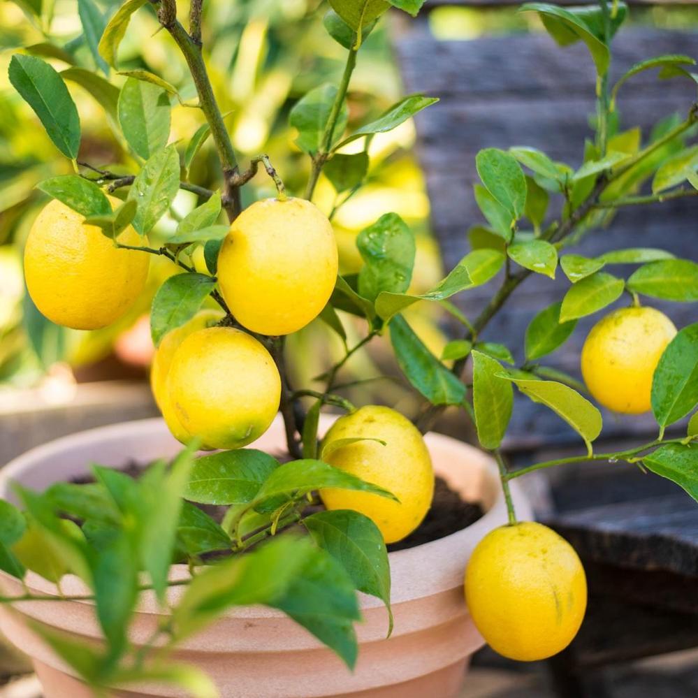 En fonction de la période de l'année, déplacez l'arbre autour de votre cour ou de votre patio afin d'obtenir une exposition maximale.