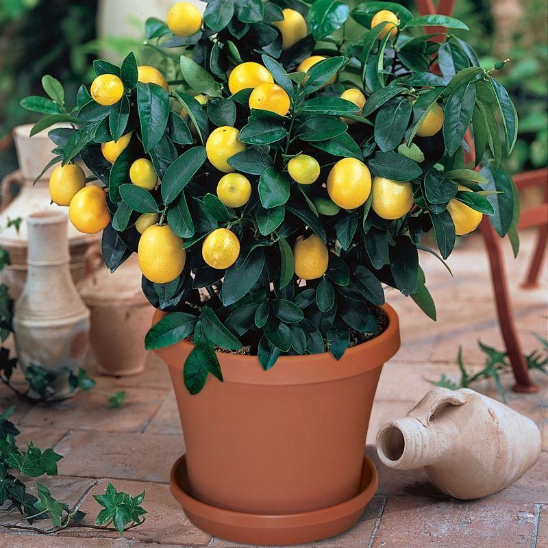 Si vous vivez dans un climat où votre arbre peut pousser à l'extérieur, il n'est pas nécessaire de s'inquiéter du niveau d'humidité.