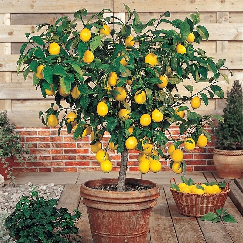 Choisissez un pot bien drainé 25% plus gros que le bulbe de citronnier.