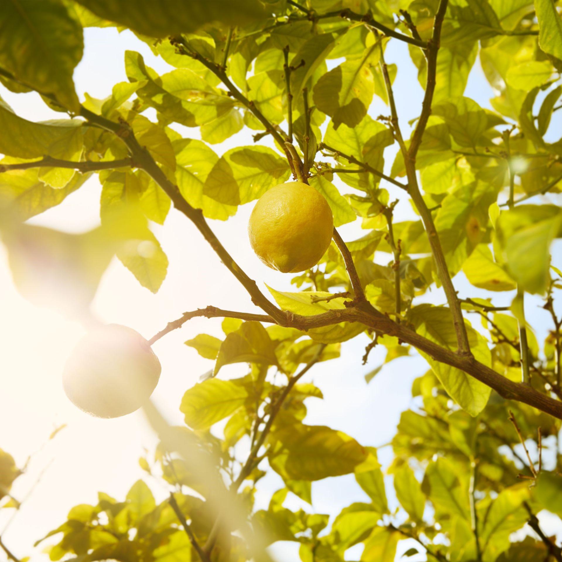Le bulbe est constitué des racines et du sol qui leur est attaché.