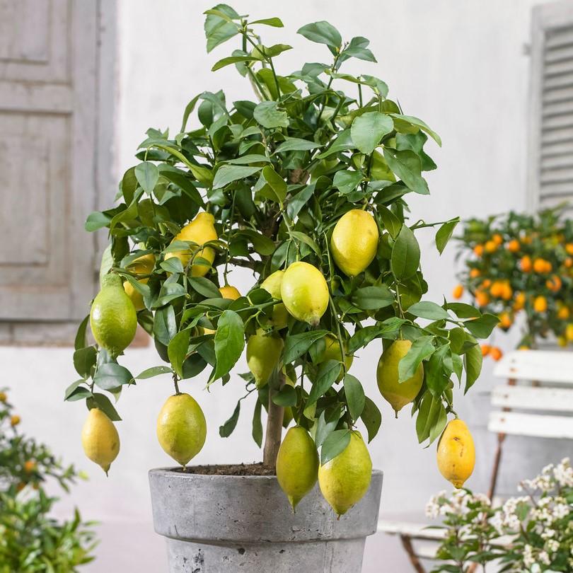Assurez-vous que votre arbre reçoit au moins 6 à 8 heures de soleil par jour.