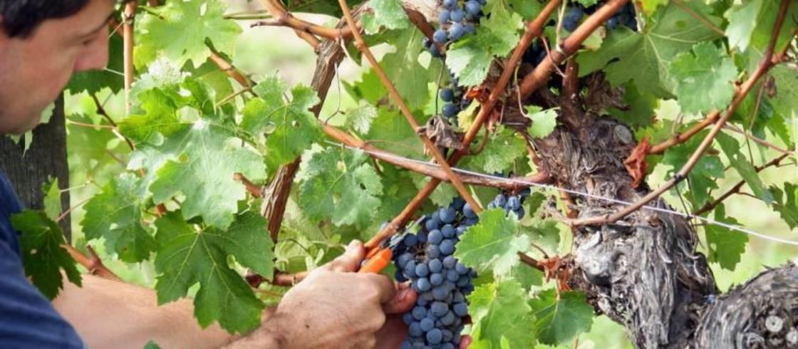 Voici quelques faits intéressants sur la récolte du vin français.