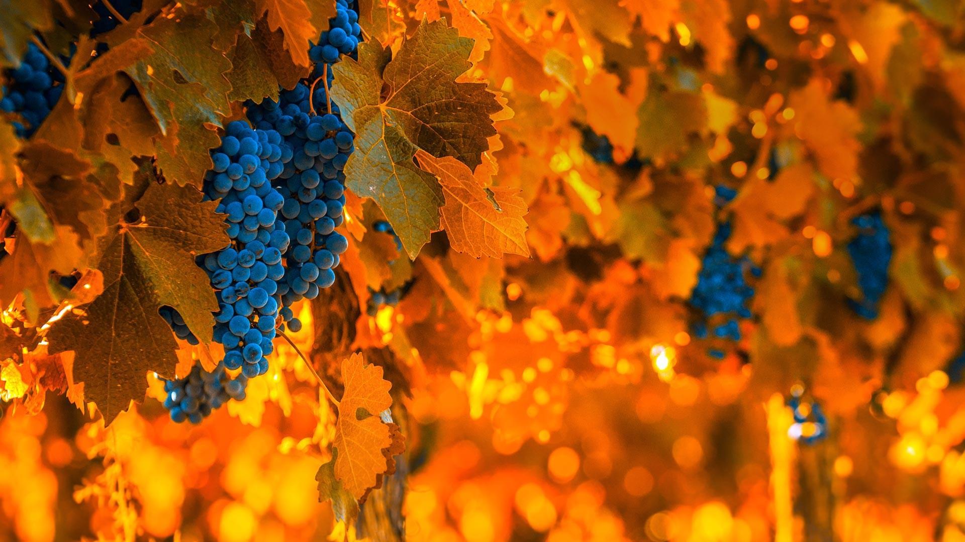 La récolte se déroule sur plus de 750 000 hectares de vignoble.