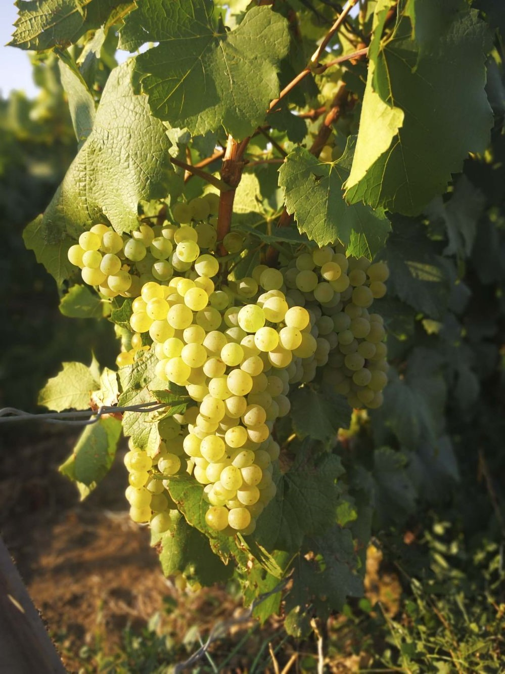 """La """"frénésie"""" de trois mois peut sembler décourageante, mais depuis que les Romains ont commencé à produire du vin au 6ème siècle, la France a beaucoup appris sur la façon de bien faire les choses."""