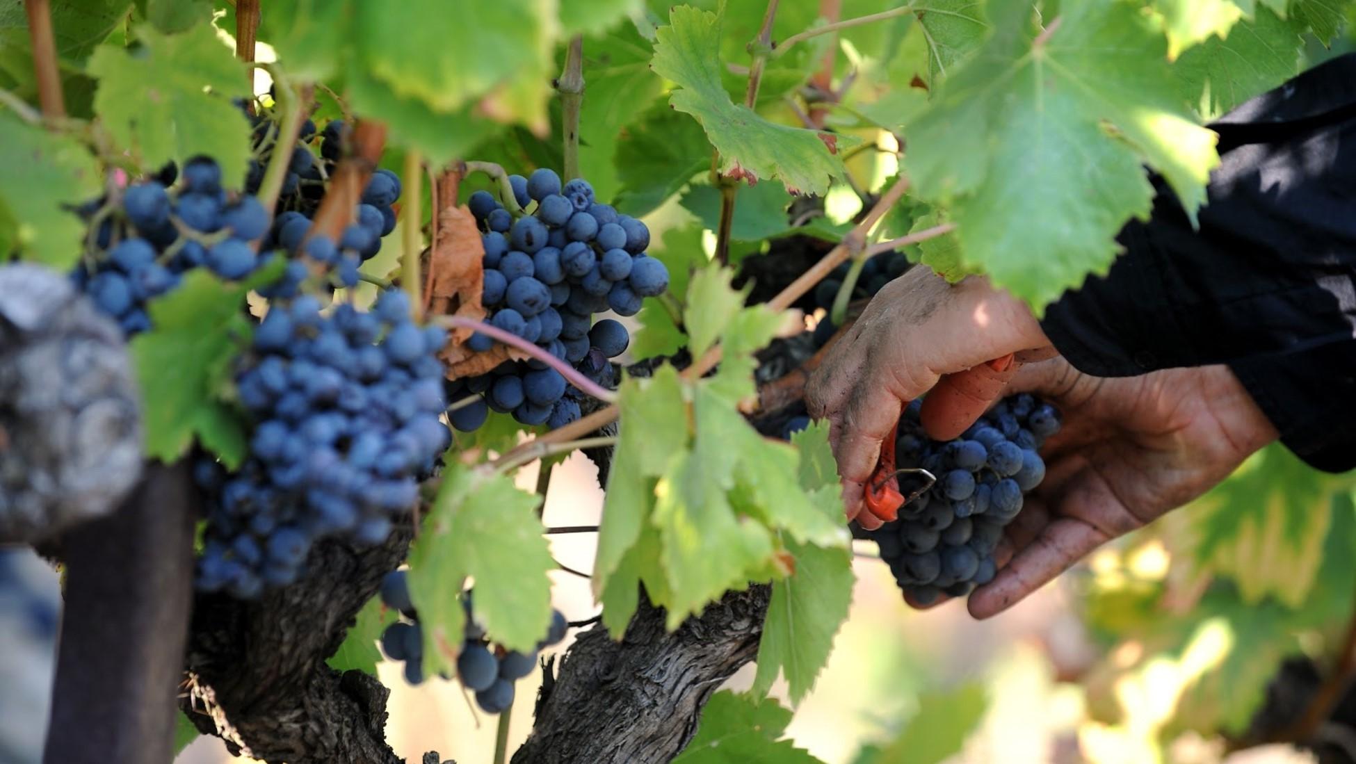 La récolte se fait toujours à la main dans de nombreux endroits et représente un travail ardu.