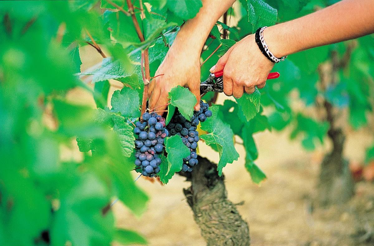 Cela prend généralement une quinzaine de jours en fonction de la taille du vignoble.