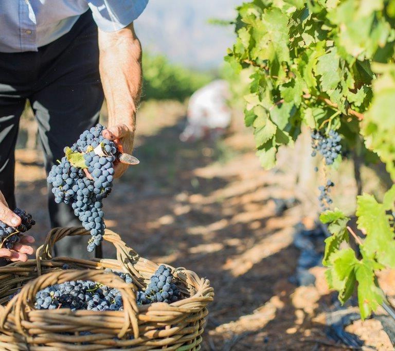 L'autre facteur est le propriétaire du vignoble et s'il souhaite utiliser des méthodes traditionnelles.