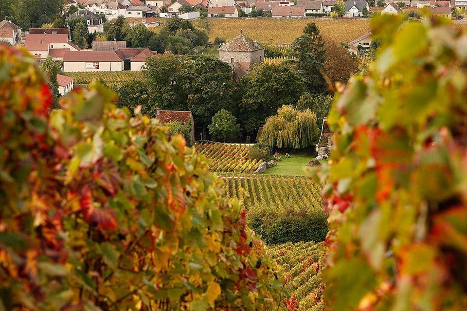 D'autres vignobles cueillant des cépages plus fragiles, comme le pinot noir, par exemple, doivent le faire à la main pour s'assurer que les raisins ne sont pas endommagés.