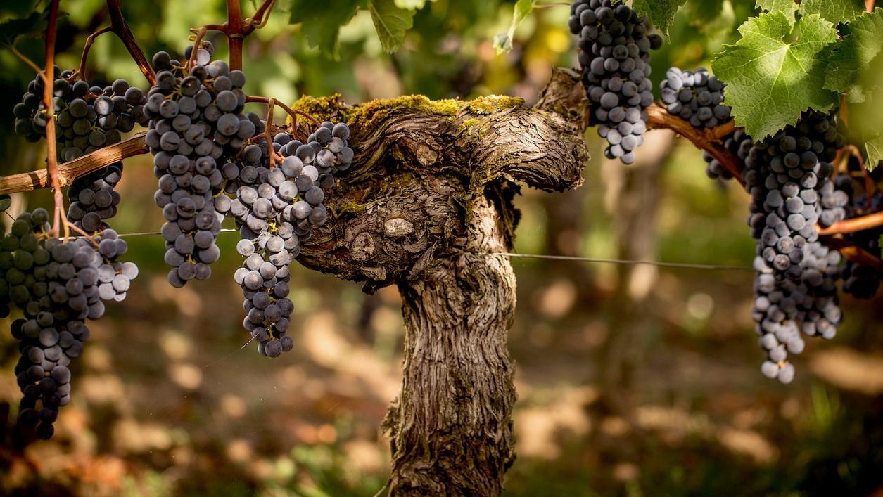 Pendant le reste de l'année, il est interdit de cueillir les vignes dans tout le pays.