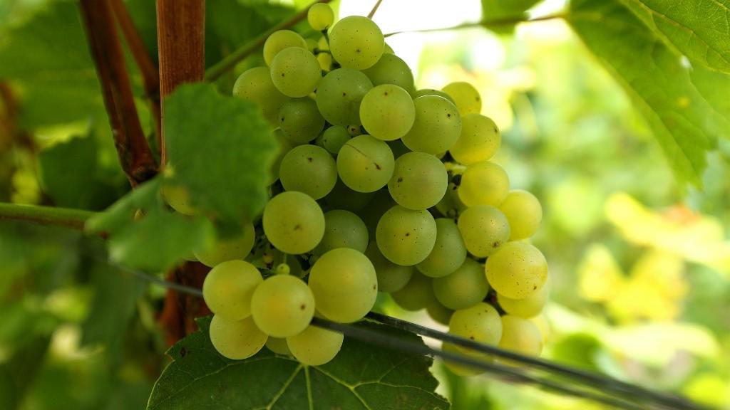 C'est généralement 100 jours après la floraison de la vigne.