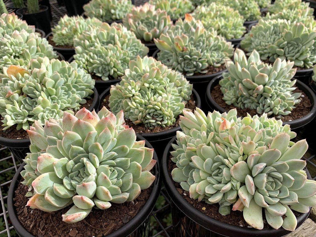 Cultiver cette plante dans un pot n'est pas difficile