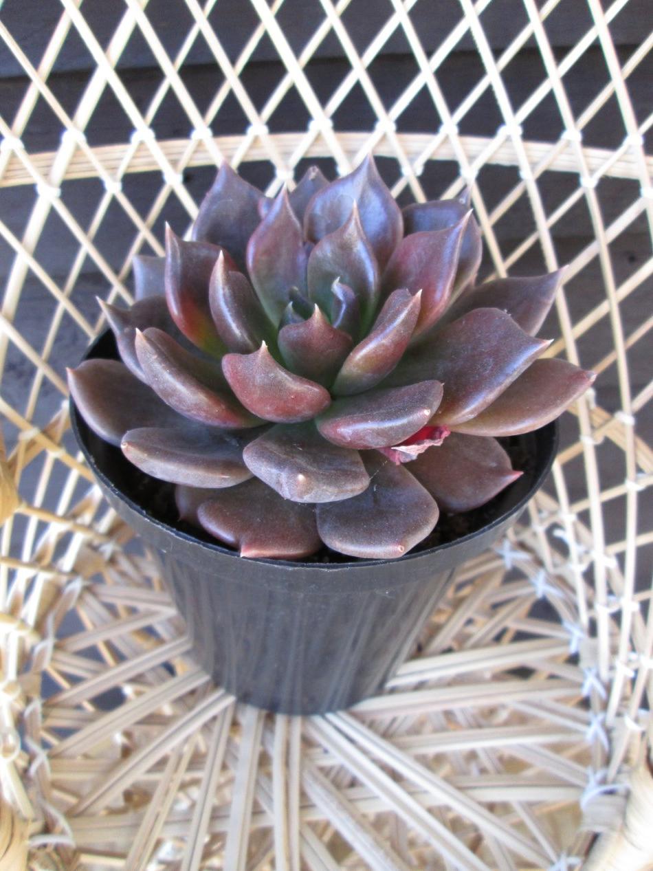 Cette belle plante existe en plusieurs couleurs