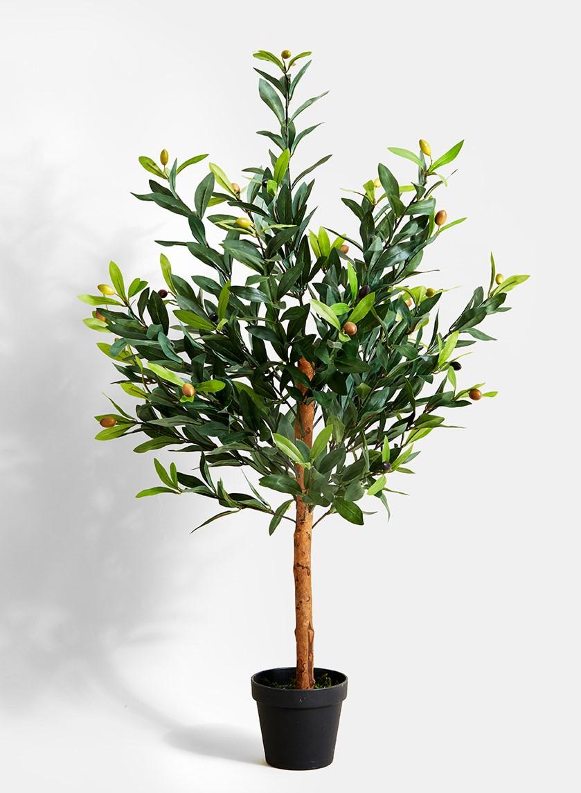 Les oliviers sont assez robustes et peuvent résister à des températures aussi basses que -10 ° C pendant de courtes périodes.