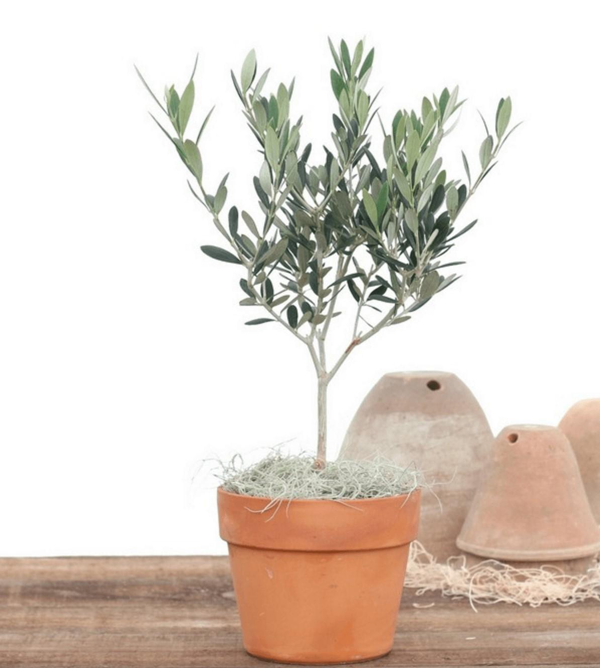 Que savoir quand replanter un olivier? Si la température baisse pendant une longue période, votre olive gagnerait à être enveloppée avec une toison horticole appropriée.