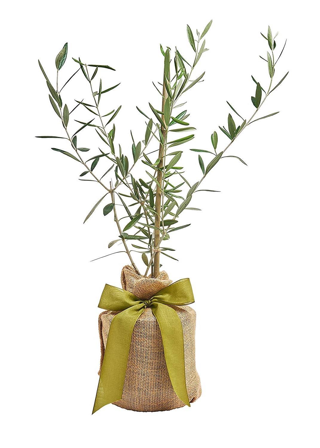 Alternativement, la plante et le pot peuvent être emballés pour éviter que les racines ne gèlent.