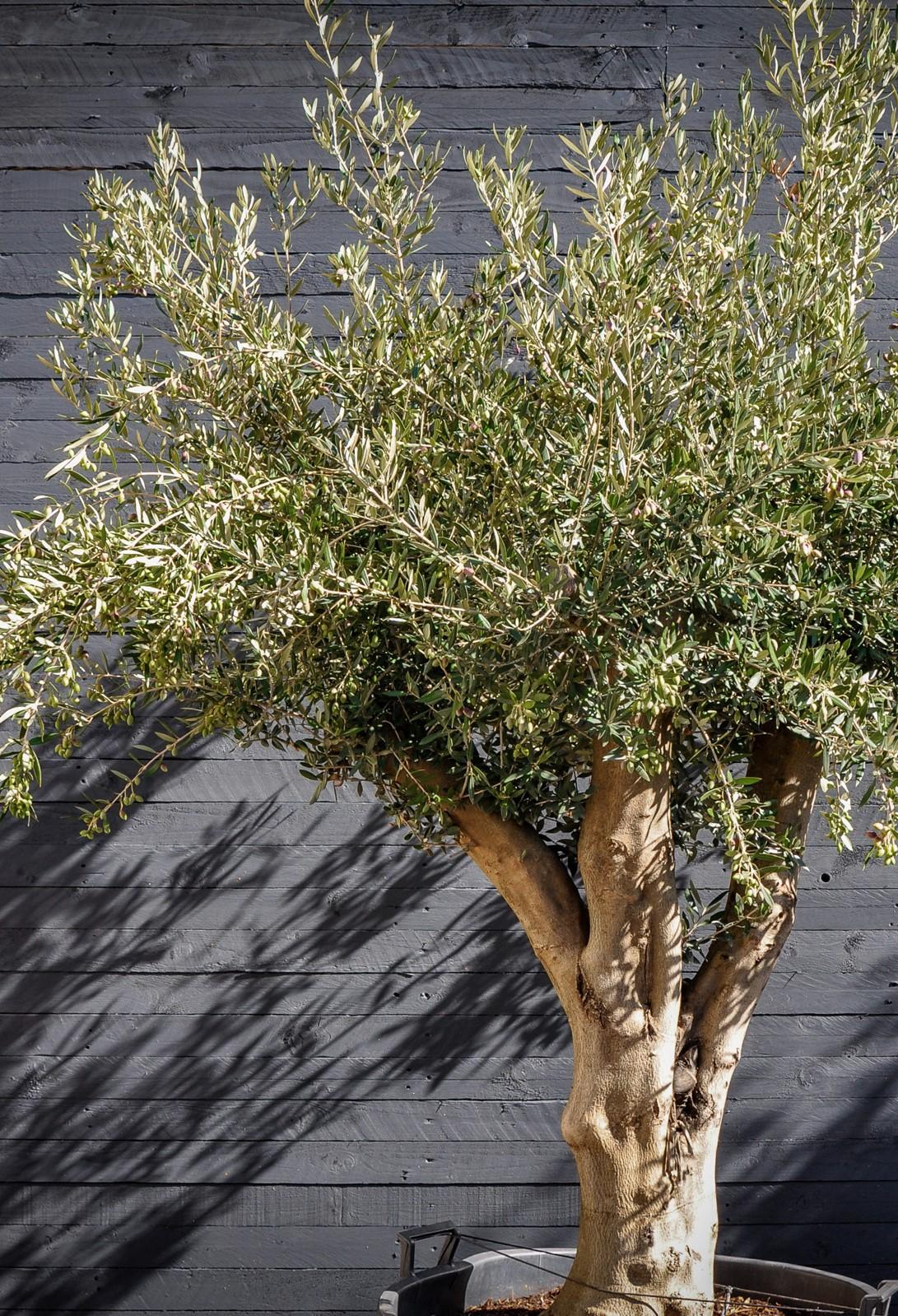 Ses fruits comestibles sont des olives et sont le plus souvent vus de couleur noire ou dans des tons de vert.