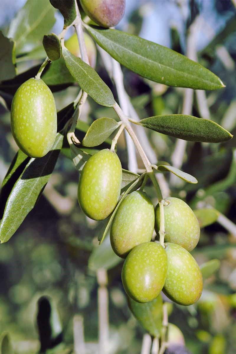 Astuce pour replanter un olivier: nourrissez votre arbre chaque printemps avec du compost frais.