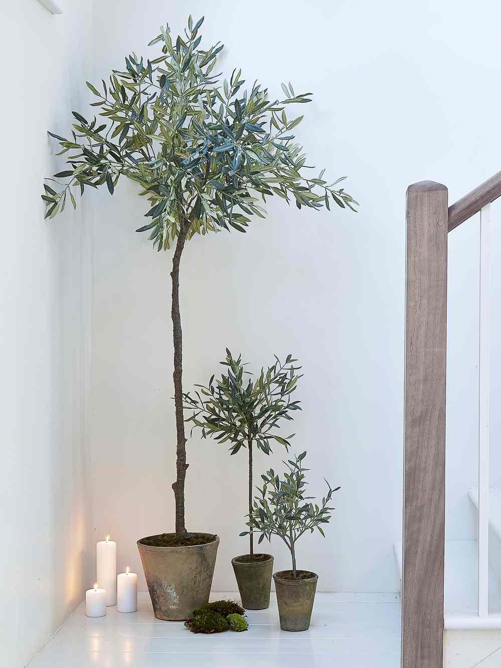 Les arbres sont très adaptables et tolèrent la sécheresse, ce qui les rend idéaux pour la vie en pot.