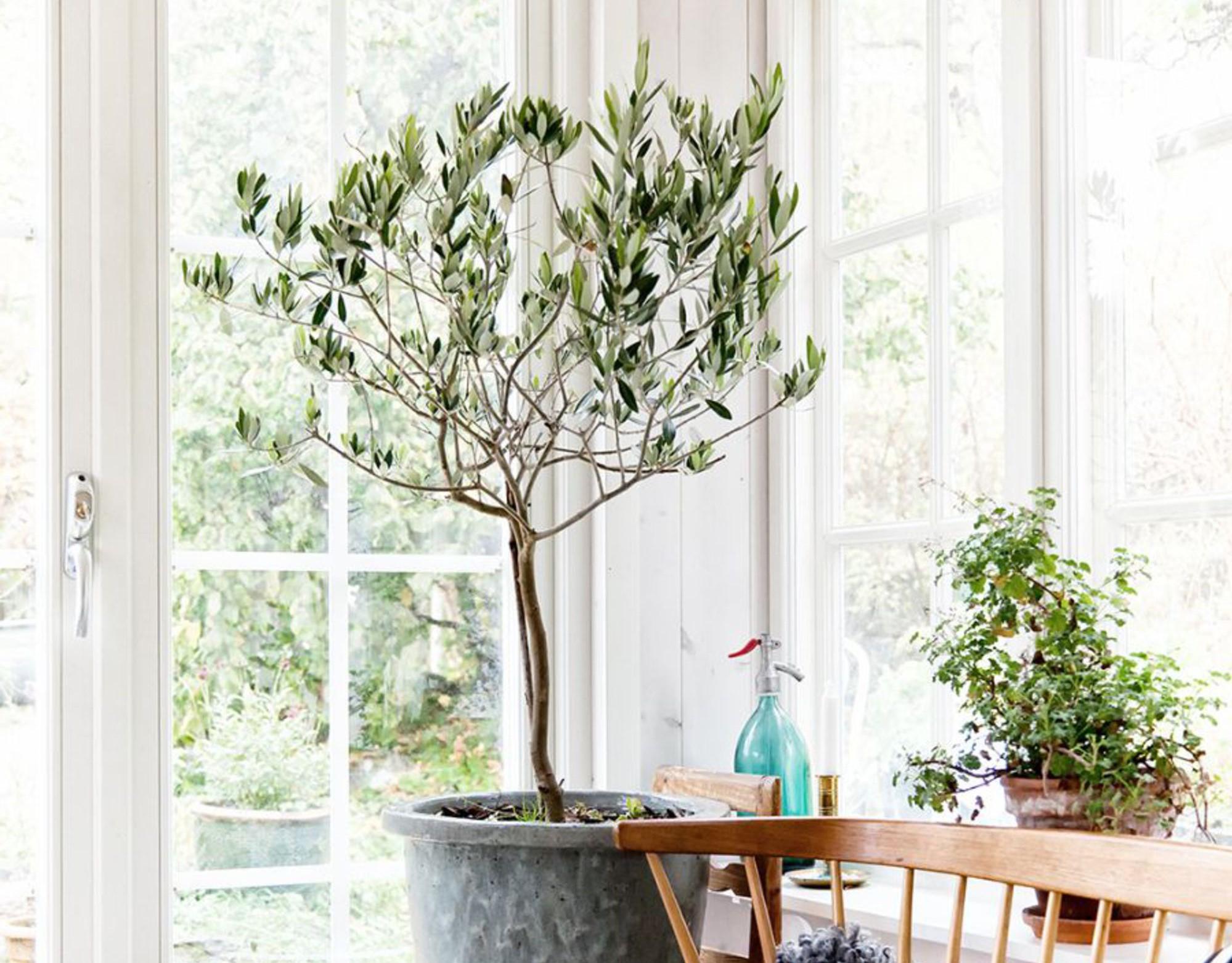 Il est bon de déplacer l'olivier et de le laisser se nourrir du soleil s'il fait chaud.
