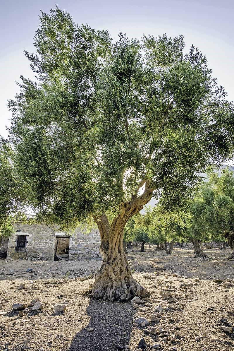 Ils sont également à la source de l'huile d'olive, réputée pour ses nombreux bienfaits pour la santé!