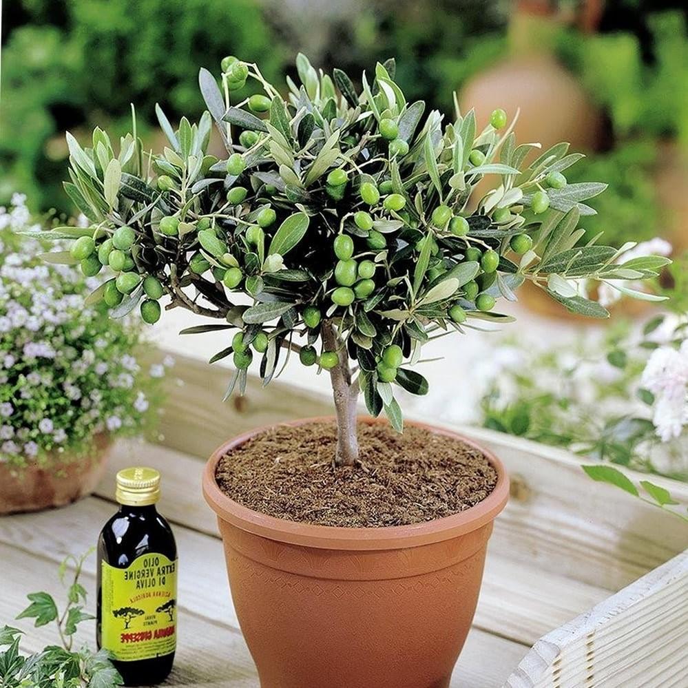 Alors que les arbres matures peuvent résister à la sécheresse, les oliviers ne sont pas des plantes du désert et peuvent souffrir voire mourir du manque d'eau.