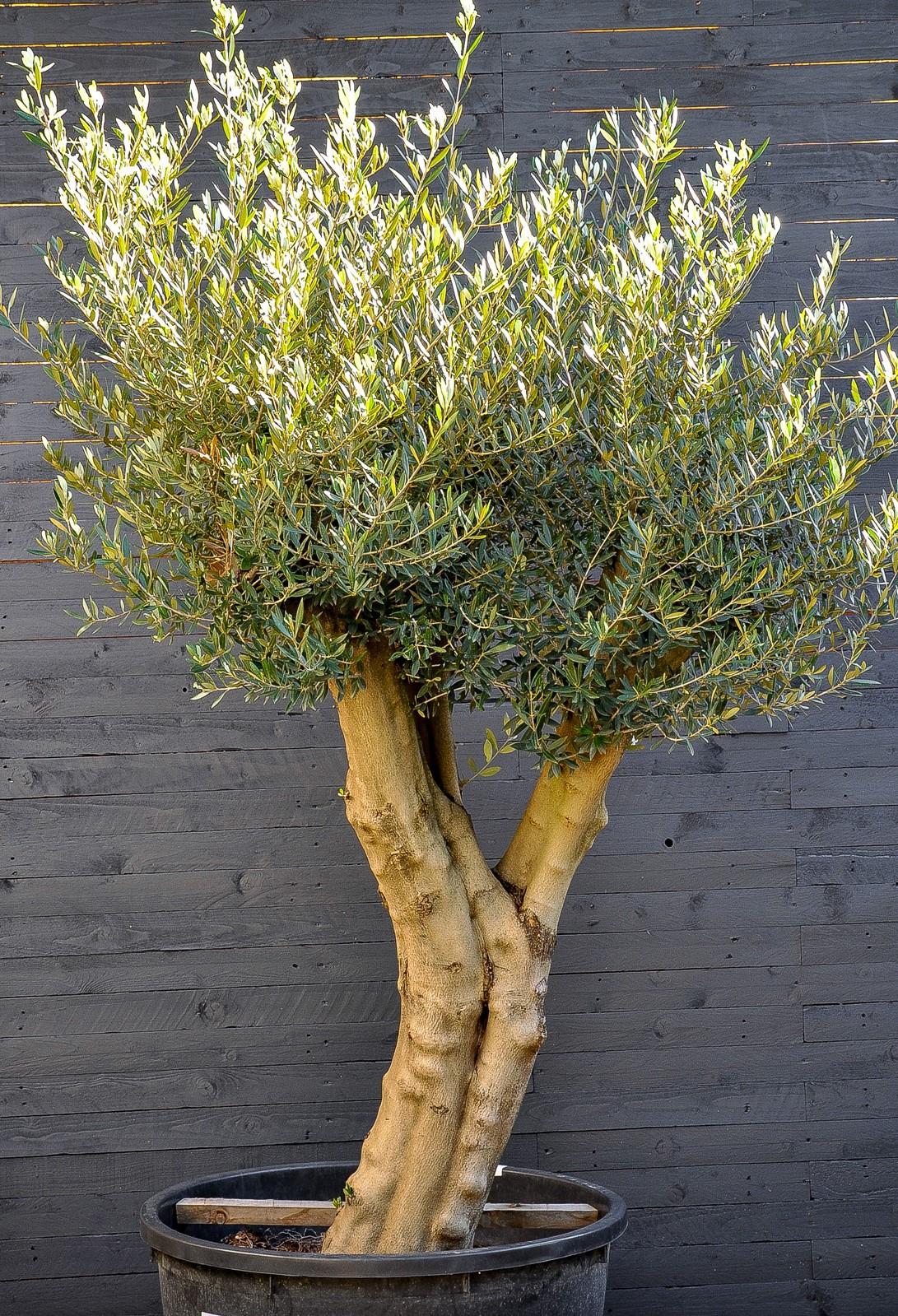 Comment replanter un olivier en hiver?