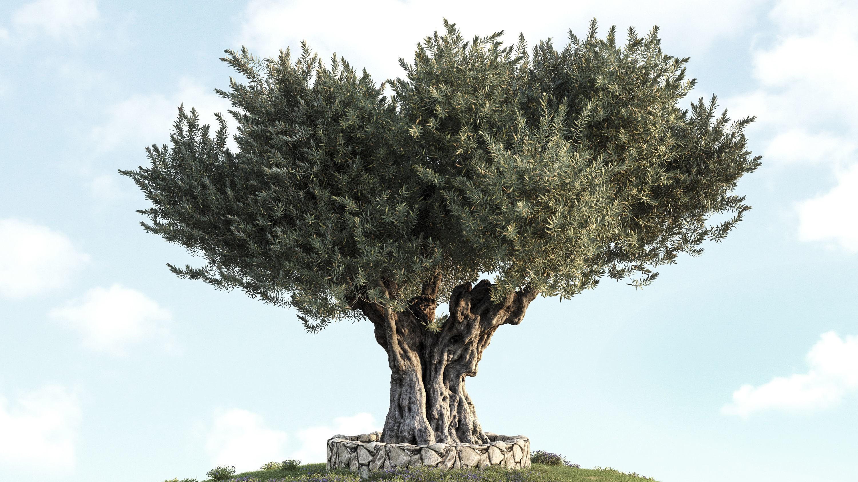 La taille annuelle de l'olivier est recommandée à la fin de l'hiver ou au début du printemps.