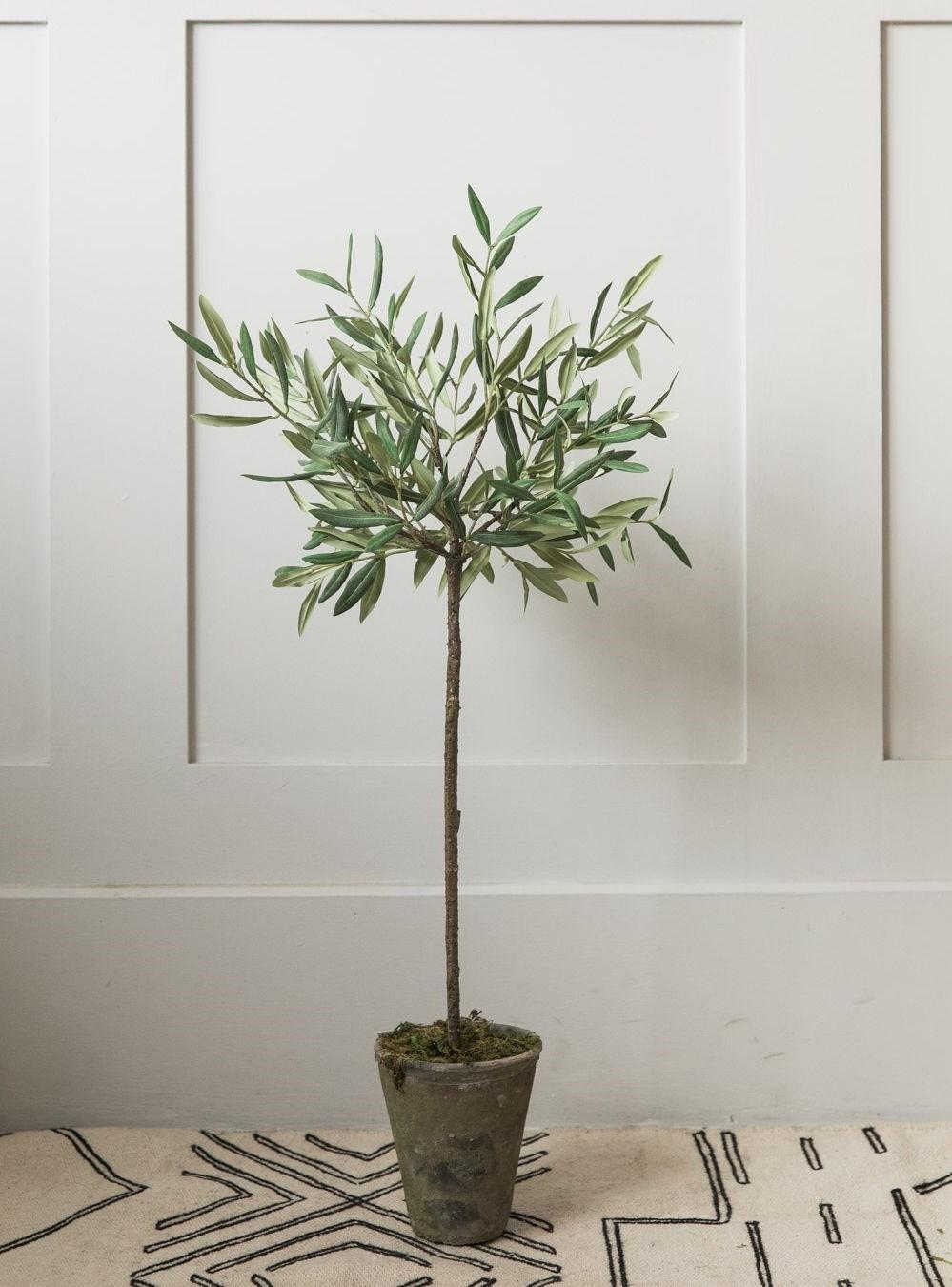 Les oliviers en pot préfèrent une taille légère chaque année plutôt qu'une taille sévère tous les deux ou trois ans.