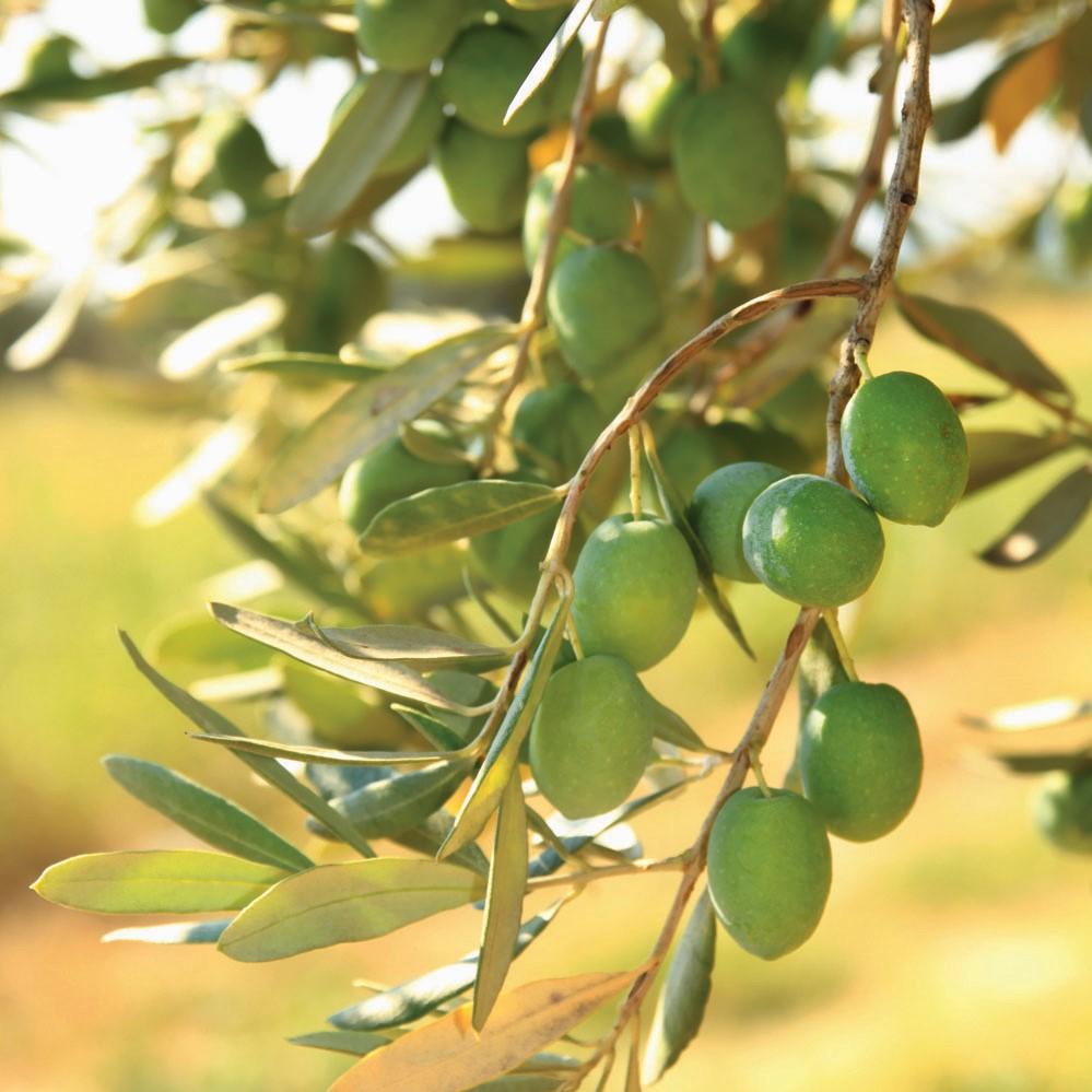 Ils peuvent être consommés crus ou épicés avec de l'ail, du basilic ou d'autres types d'épices.