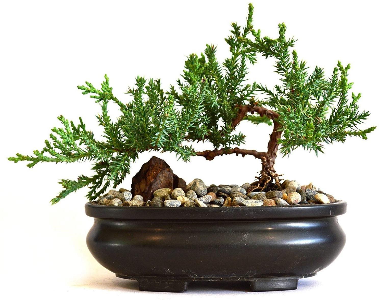 Quel est le prix d'un bonsaï?
